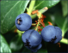 +fruit+food+produce+blueberries+on+plant+ clipart